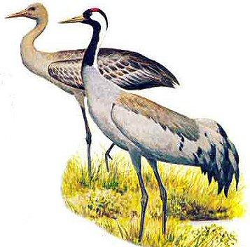 http://genevoute.free.fr/Sitephotos/Oiseaux/Grue/Cendree/GrueCendreeDessin.jpeg